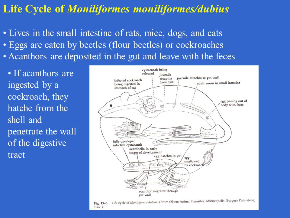 Life Cycle of Moniliformes moniliformes/dubius Lives in the small intestine of rats, mice, dogs, and cats Eggs are eaten by beetles (flour beetles) or