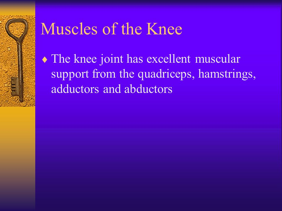 Muscles of the Knee  The knee joint has excellent muscular support from the quadriceps, hamstrings, adductors and abductors