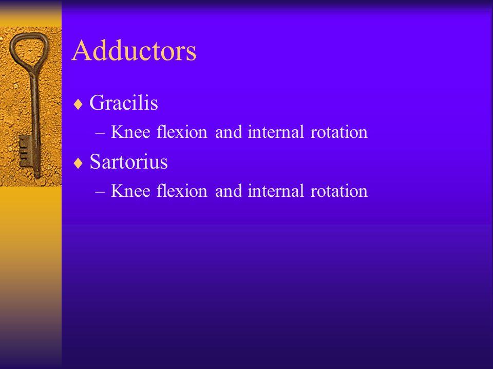 Adductors  Gracilis –Knee flexion and internal rotation  Sartorius –Knee flexion and internal rotation