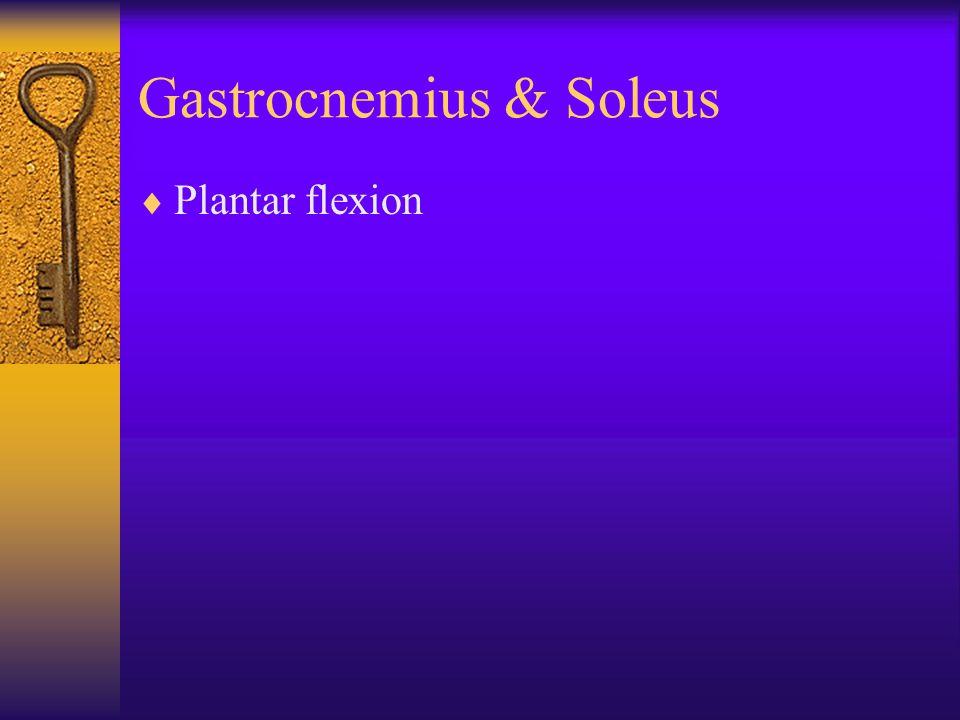 Gastrocnemius & Soleus  Plantar flexion