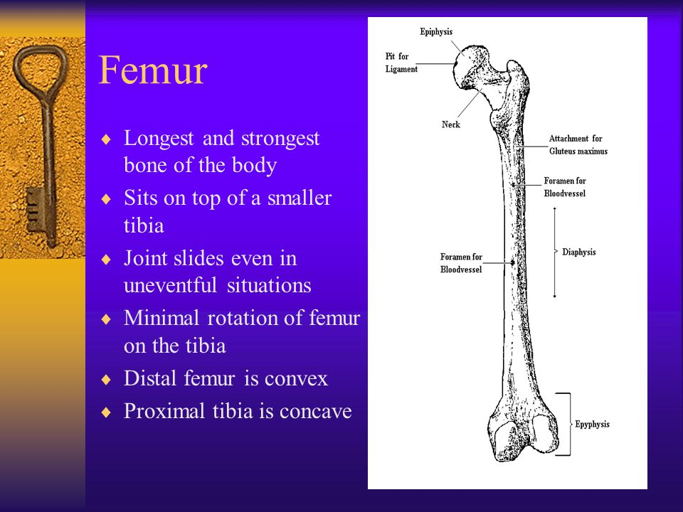 Femur  Longest and strongest bone of the body  Sits on top of a smaller tibia  Joint slides even in uneventful situations  Minimal rotation of fem