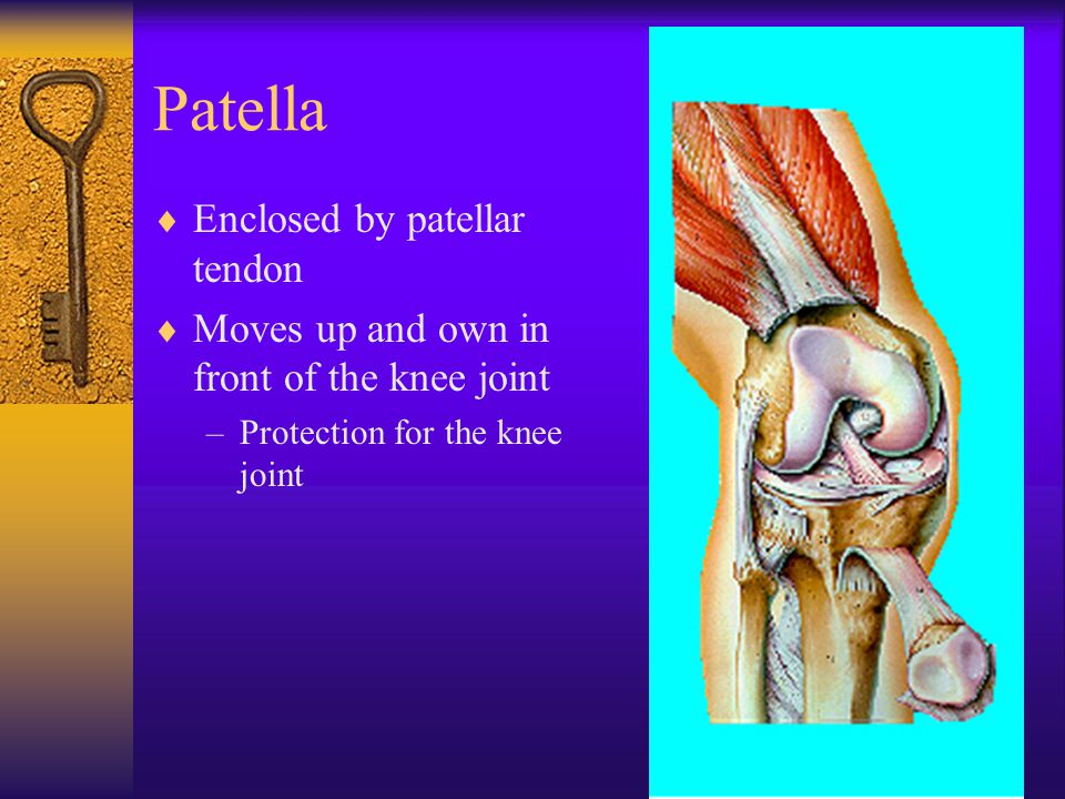Patella  Enclosed by patellar tendon  Moves up and own in front of the knee joint –Protection for the knee joint