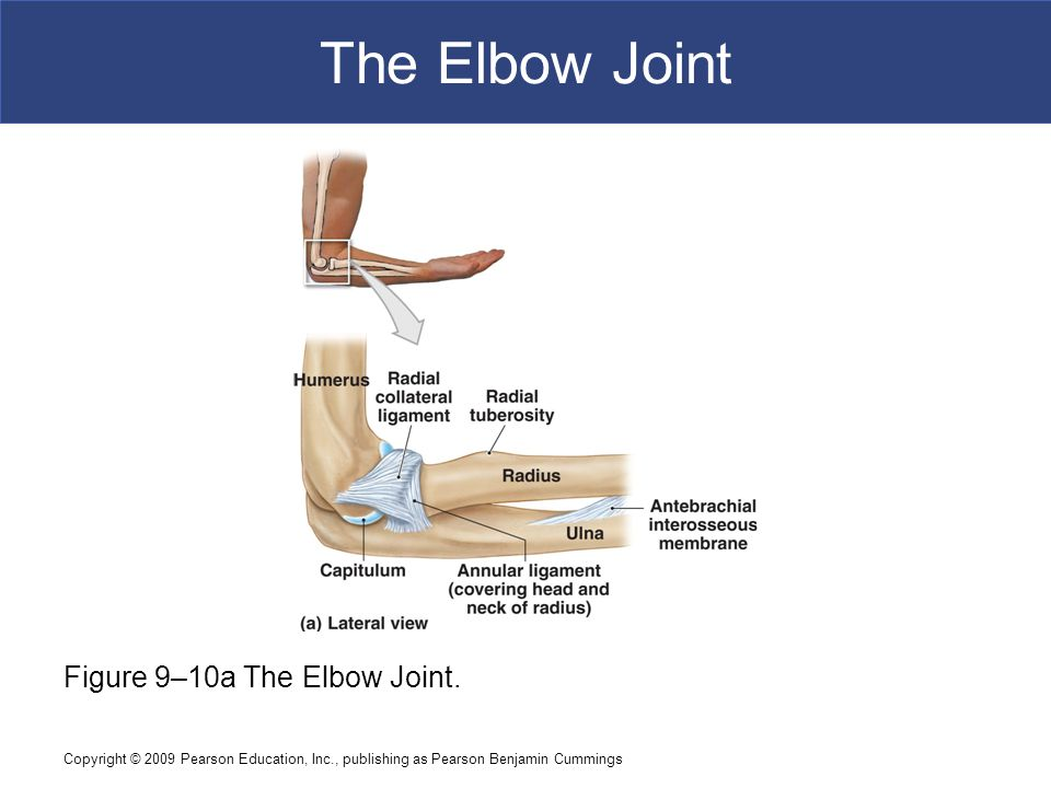 Copyright © 2009 Pearson Education, Inc., publishing as Pearson Benjamin Cummings The Hip Joint Figure 9–11a The Hip Joint.