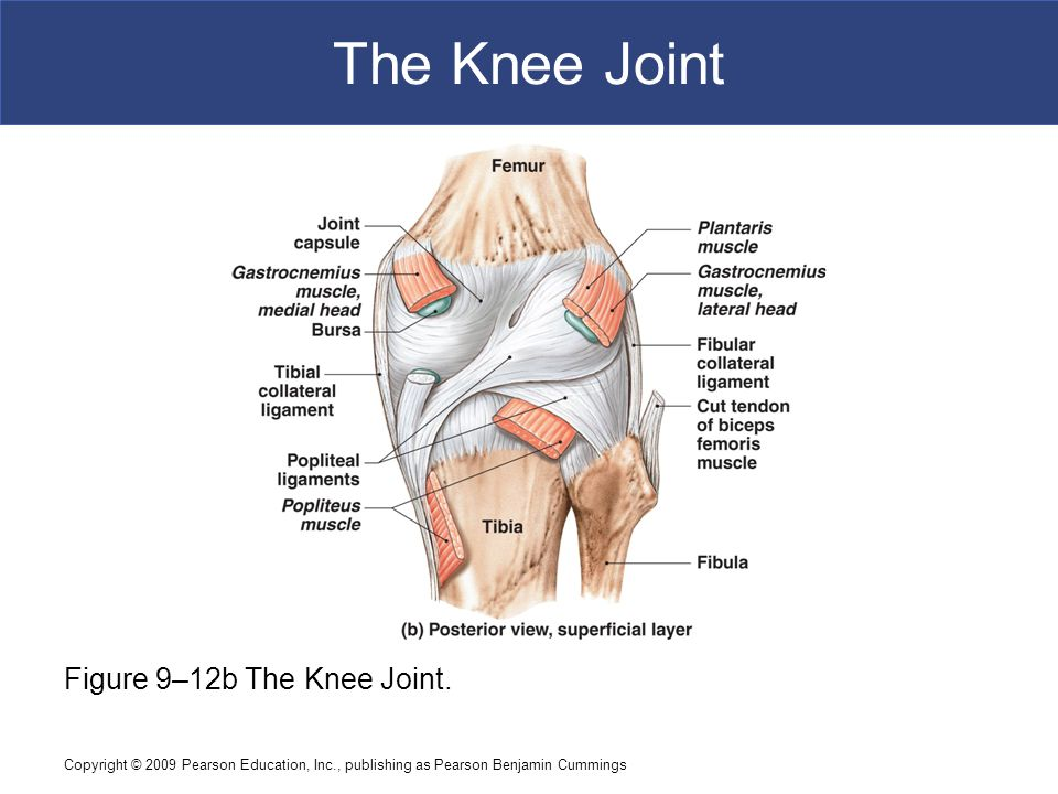 Copyright © 2009 Pearson Education, Inc., publishing as Pearson Benjamin Cummings The Knee Joint Figure 9–12b The Knee Joint.