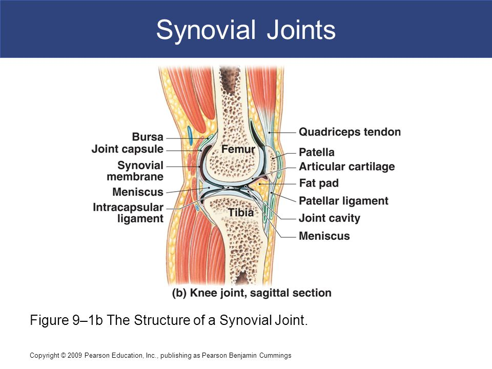 Copyright © 2009 Pearson Education, Inc., publishing as Pearson Benjamin Cummings Synovial Joints Figure 9–1b The Structure of a Synovial Joint.