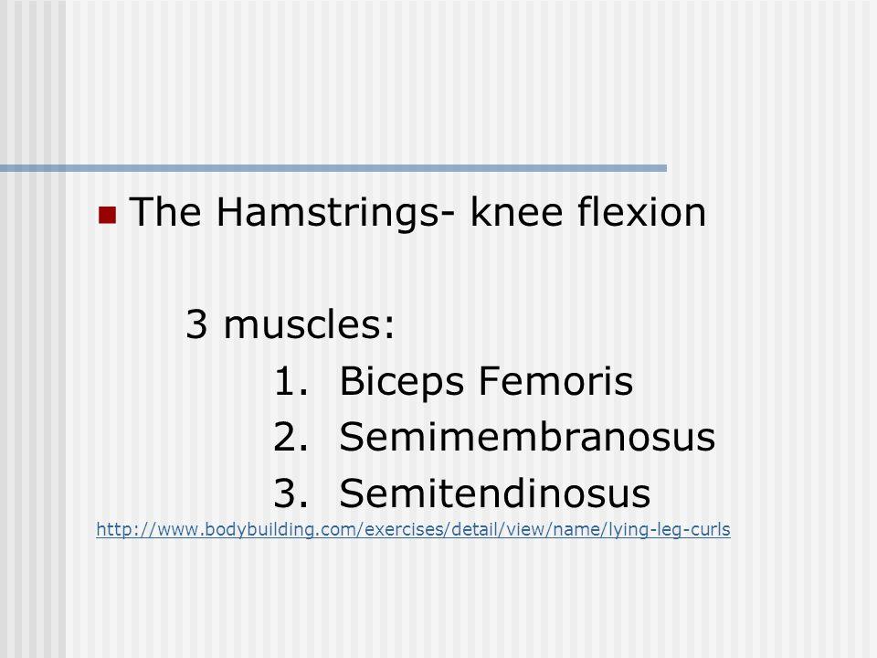 The Hamstrings- knee flexion 3 muscles: 1. Biceps Femoris 2. Semimembranosus 3. Semitendinosus http://www.bodybuilding.com/exercises/detail/view/name/