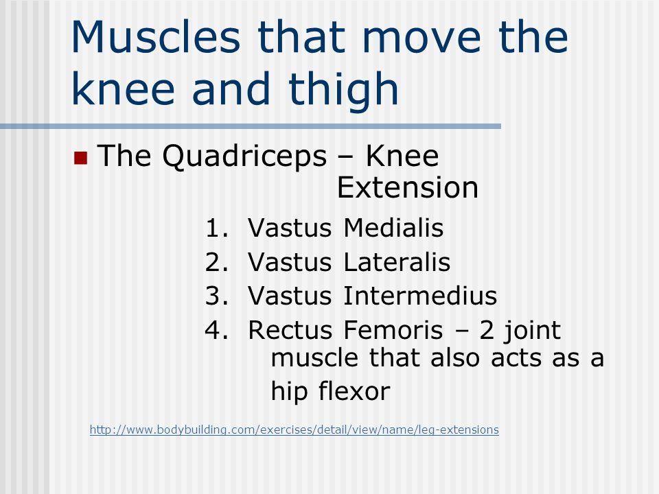 Muscles that move the knee and thigh The Quadriceps – Knee Extension 1. Vastus Medialis 2. Vastus Lateralis 3. Vastus Intermedius 4. Rectus Femoris –