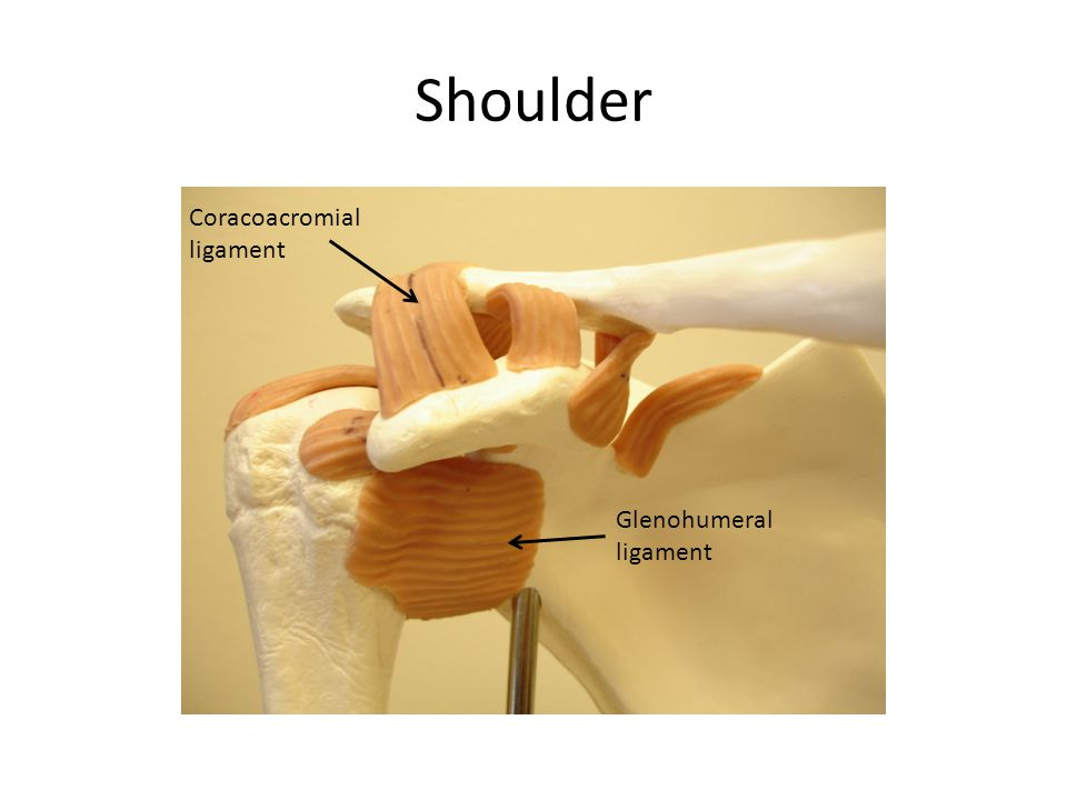 Shoulder Glenohumeral ligament Coracoacromial ligament
