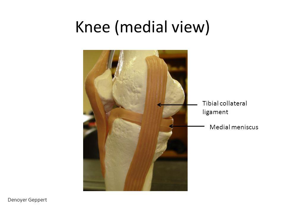 Knee (medial view) Denoyer Geppert Tibial collateral ligament Medial meniscus