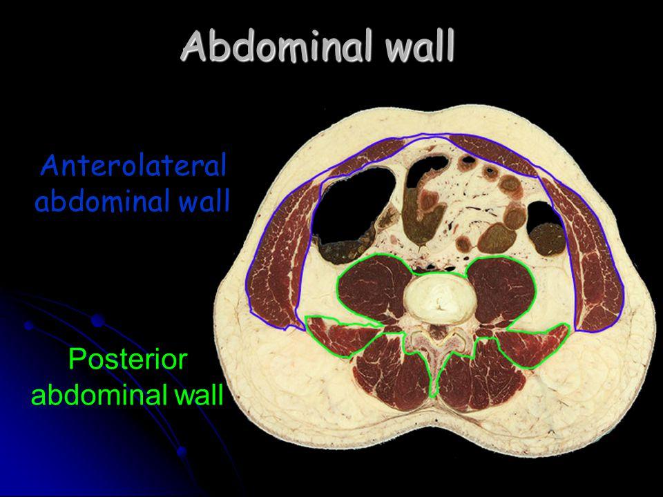 Abdominal wall Anterolateral abdominal wall Posterior abdominal wall