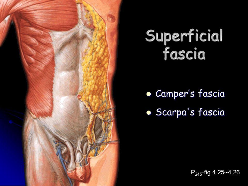 Superficial fascia Camper's fascia Camper's fascia Scarpa's fascia Scarpa's fascia P 245 -fig.4.25~4.26