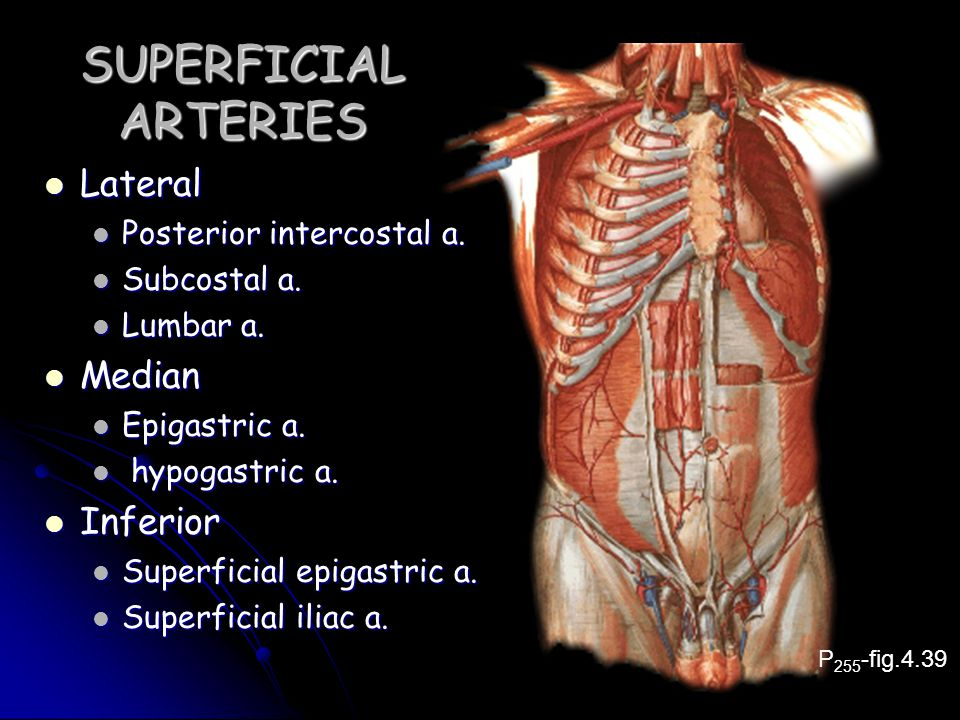 SUPERFICIAL ARTERIES Lateral Lateral Posterior intercostal a.