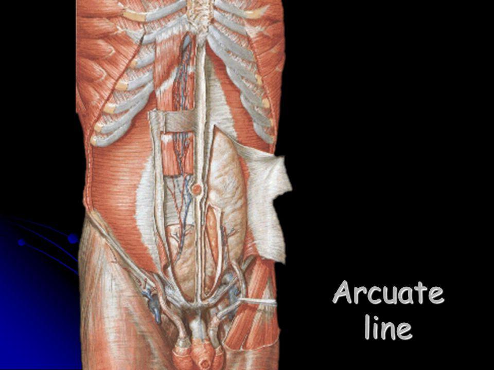 Arcuate line