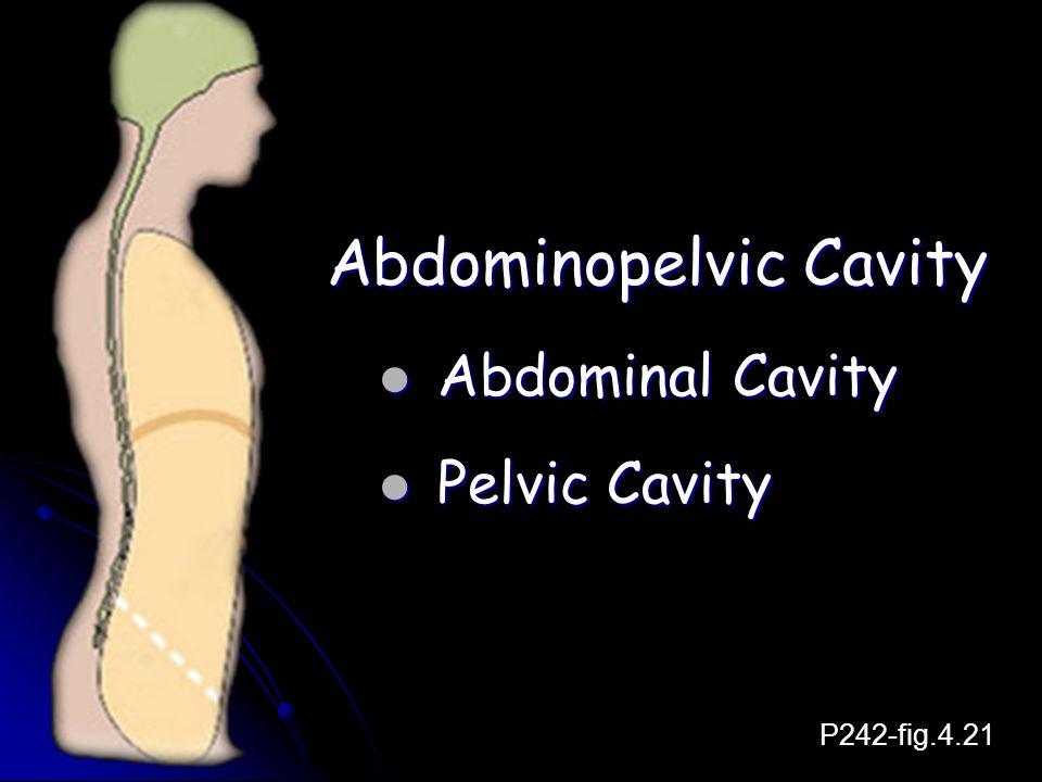 Abdominopelvic Cavity Abdominal Cavity Abdominal Cavity Pelvic Cavity Pelvic Cavity P242-fig.4.21