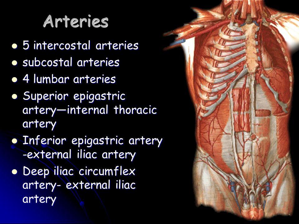 Arteries 5 intercostal arteries 5 intercostal arteries subcostal arteries subcostal arteries 4 lumbar arteries 4 lumbar arteries Superior epigastric a