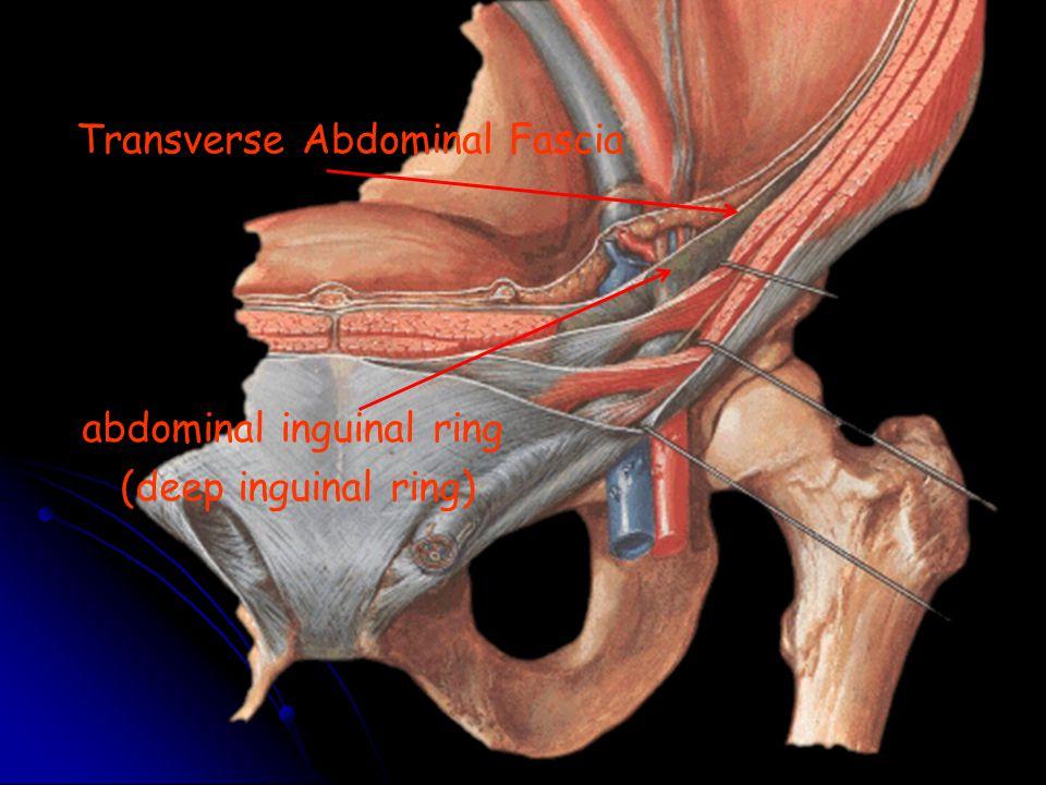 Transverse Abdominal Fascia abdominal inguinal ring (deep inguinal ring)