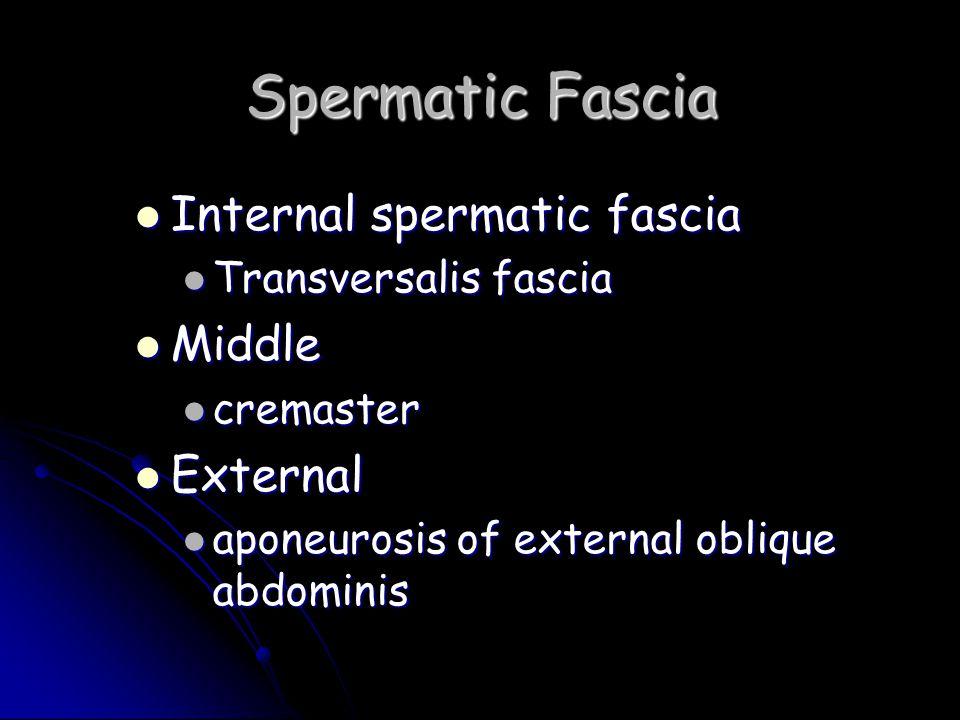 Spermatic Fascia Internal spermatic fascia Internal spermatic fascia Transversalis fascia Transversalis fascia Middle Middle cremaster cremaster Exter