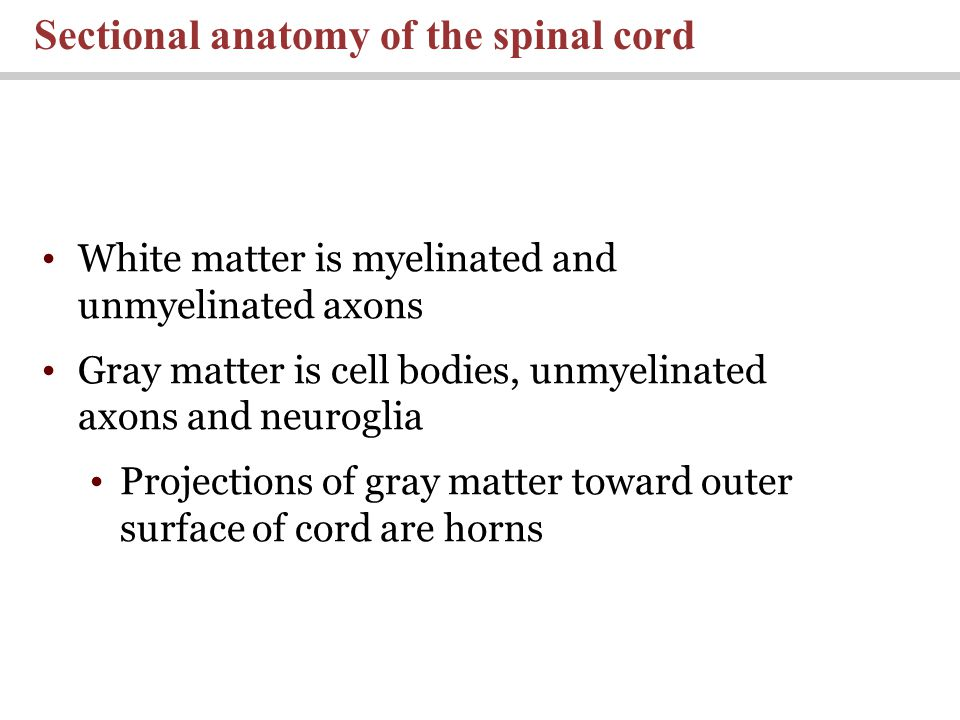 Sectional anatomy of the spinal cord White matter is myelinated and unmyelinated axons Gray matter is cell bodies, unmyelinated axons and neuroglia Projections of gray matter toward outer surface of cord are horns