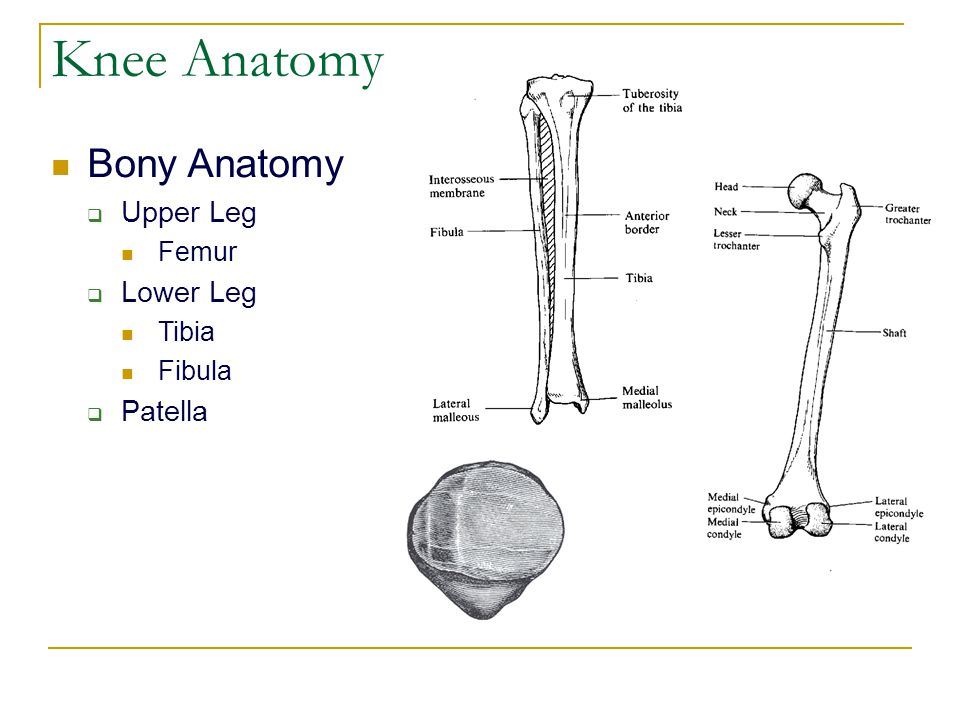 Knee Anatomy Bony Anatomy  Upper Leg Femur  Lower Leg Tibia Fibula  Patella