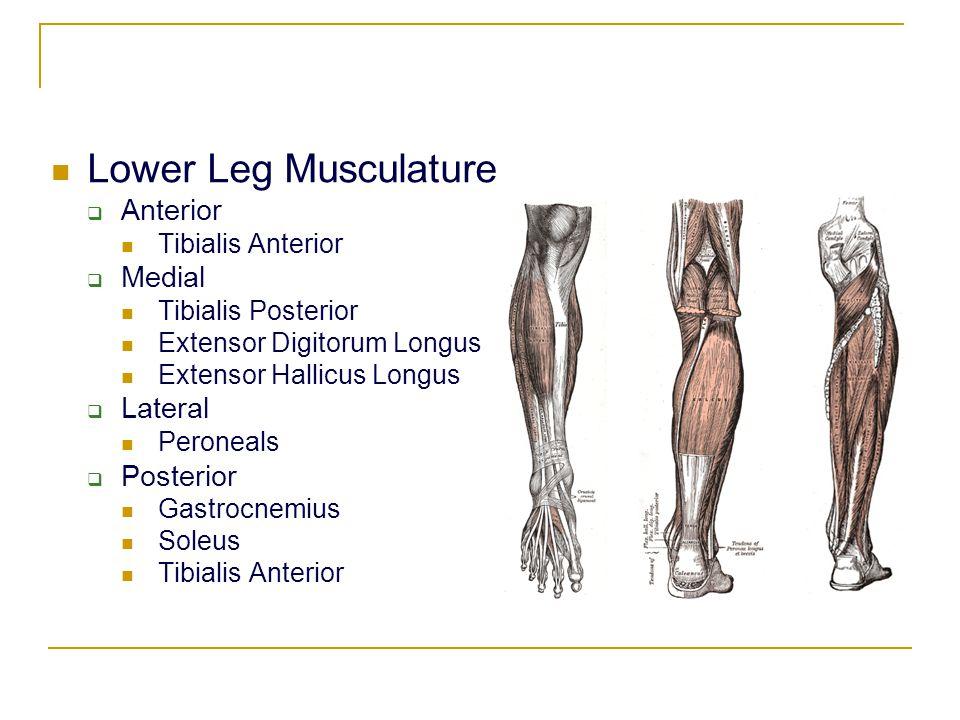 Lower Leg Musculature  Anterior Tibialis Anterior  Medial Tibialis Posterior Extensor Digitorum Longus Extensor Hallicus Longus  Lateral Peroneals