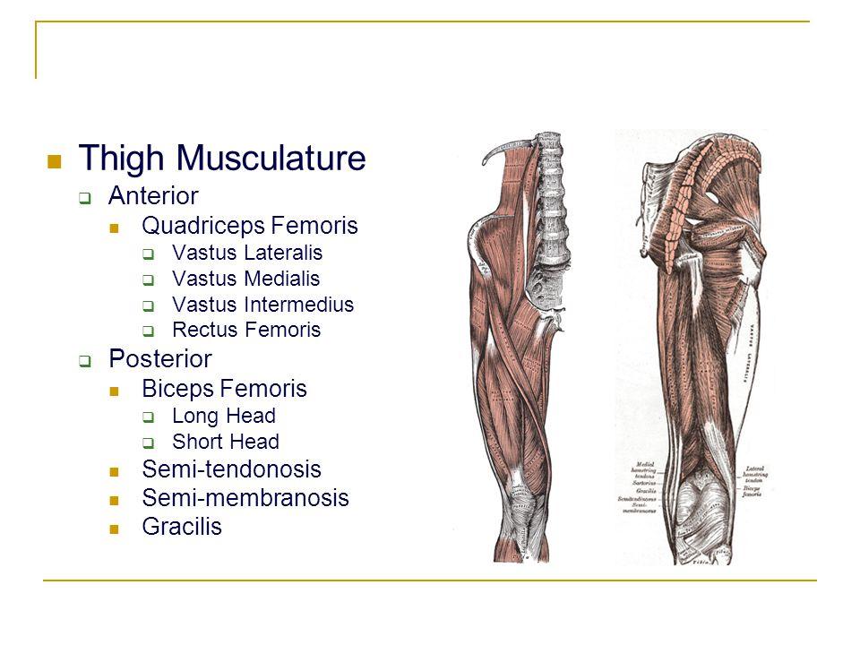 Thigh Musculature  Anterior Quadriceps Femoris  Vastus Lateralis  Vastus Medialis  Vastus Intermedius  Rectus Femoris  Posterior Biceps Femoris