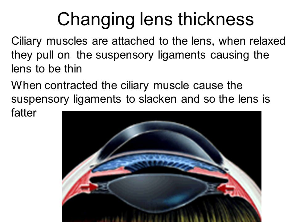 Changing lens thickness Ciliary muscles are attached to the lens, when relaxed they pull on the suspensory ligaments causing the lens to be thin When contracted the ciliary muscle cause the suspensory ligaments to slacken and so the lens is fatter