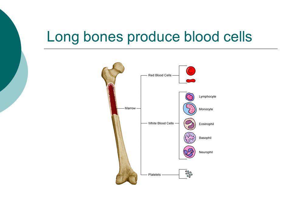Long bones produce blood cells