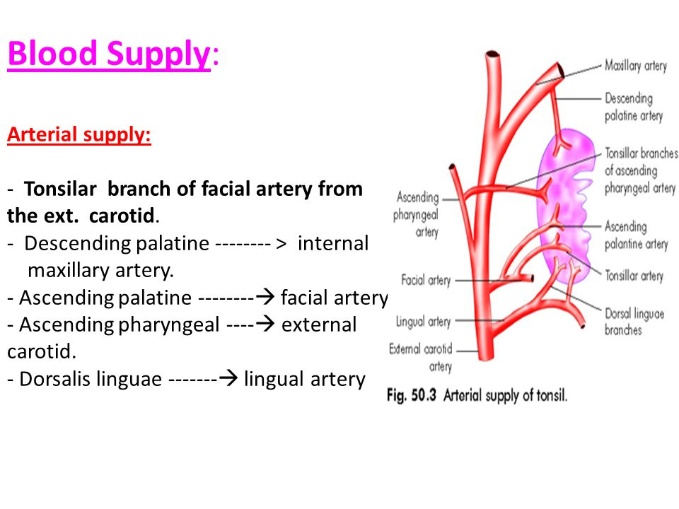 Blood Supply: Arterial supply: - Tonsilar branch of facial artery from the ext. carotid. - Descending palatine -------- > internal maxillary artery. -