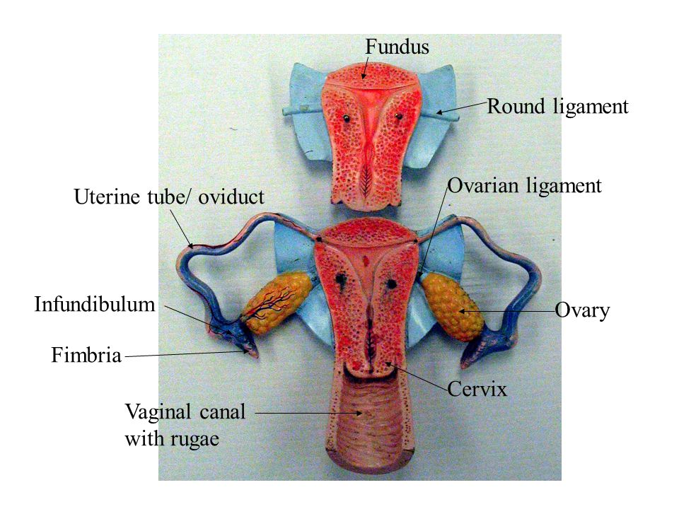 Round ligament Ovarian ligament Ovary Cervix Vaginal canal with rugae Uterine tube/ oviduct Infundibulum Fimbria Fundus