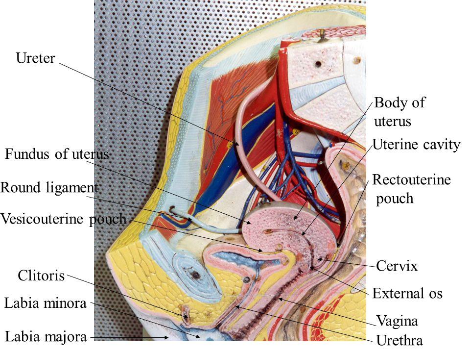 Cervix External os Fundus of uterus Round ligament Clitoris Labia minora Labia majora Vagina Urethra Vesicouterine pouch Rectouterine pouch Ureter Bod