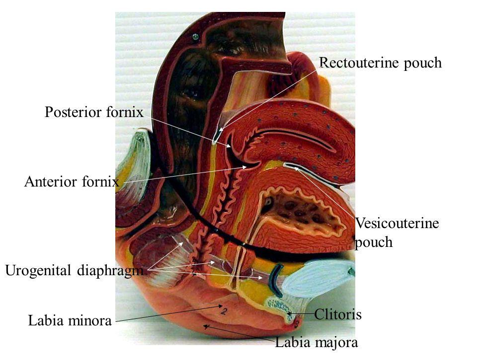 Posterior fornix Anterior fornix Vesicouterine pouch Rectouterine pouch Urogenital diaphragm Clitoris Labia minora Labia majora