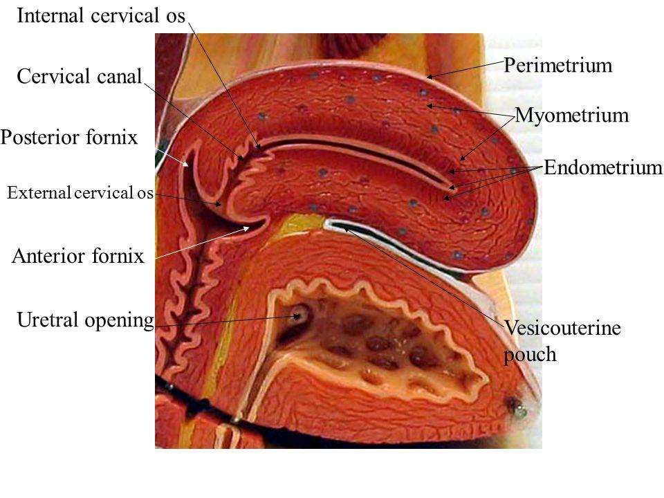 Perimetrium Myometrium Endometrium Vesicouterine pouch Uretral opening Anterior fornix Posterior fornix External cervical os Cervical canal Internal c