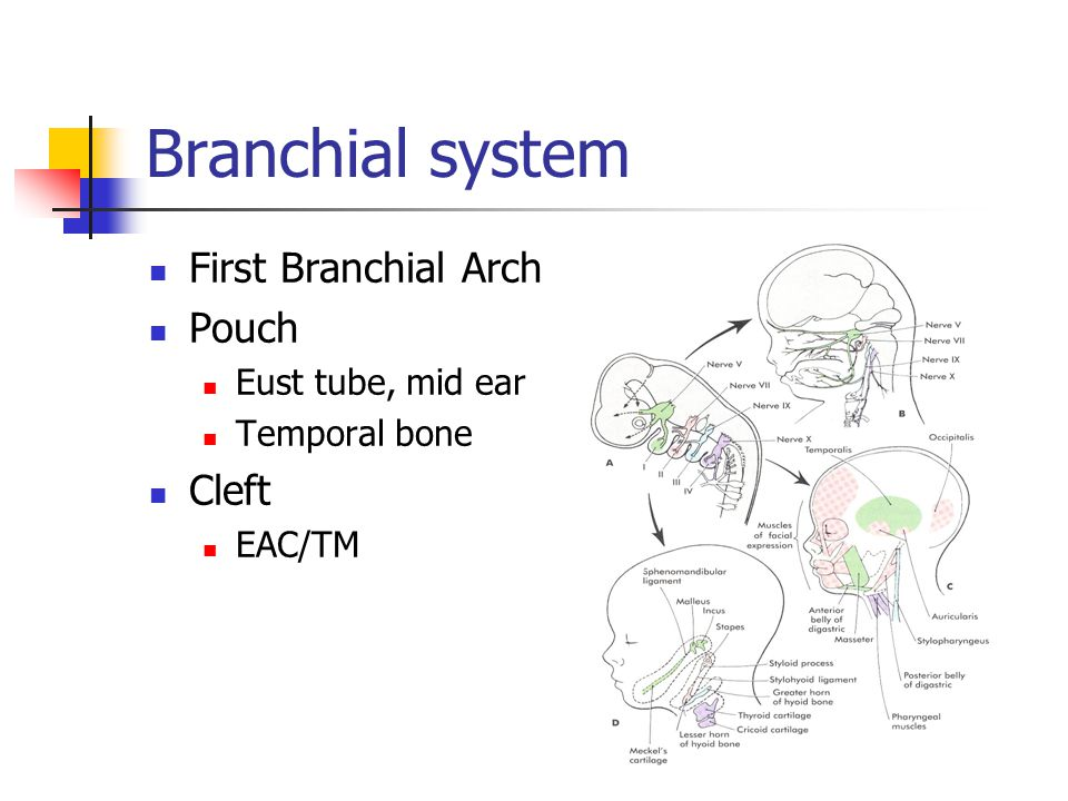 Branchial system First Branchial Arch Pouch Eust tube, mid ear Temporal bone Cleft EAC/TM