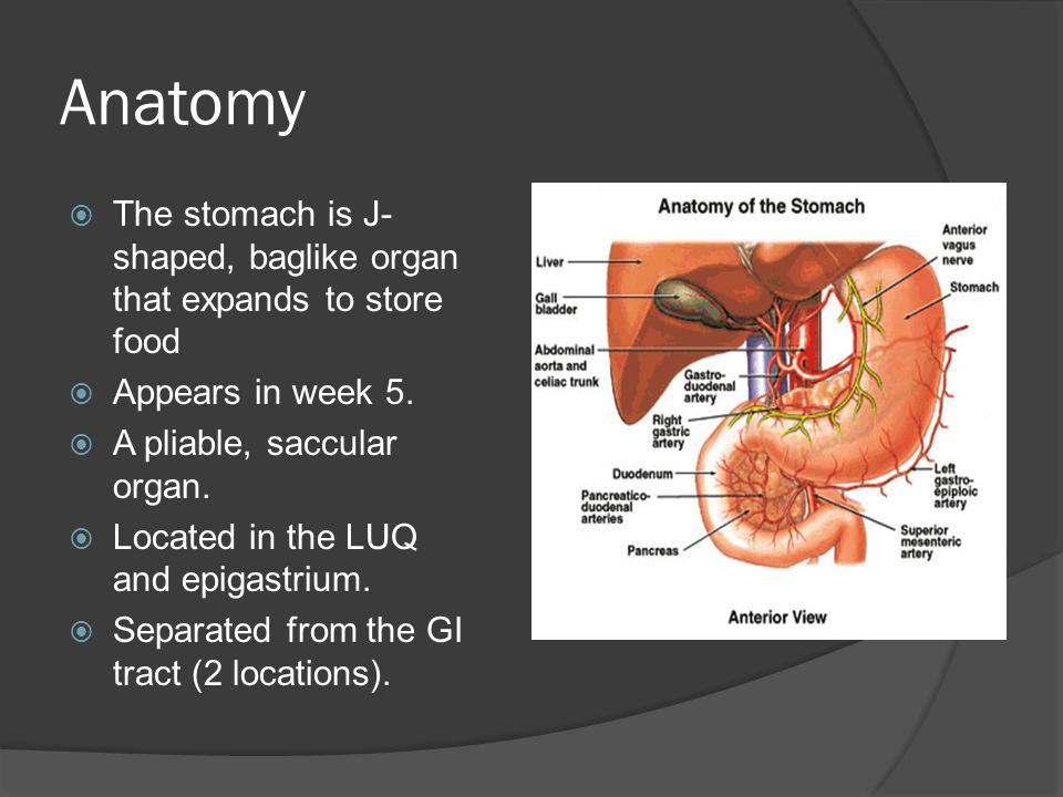 Gross Anatomy  Proximal= Cardia (attaches to esophagus) attaches at the LES.