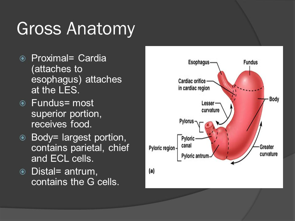 Gross Anatomy  Proximal= Cardia (attaches to esophagus) attaches at the LES.  Fundus= most superior portion, receives food.  Body= largest portion,