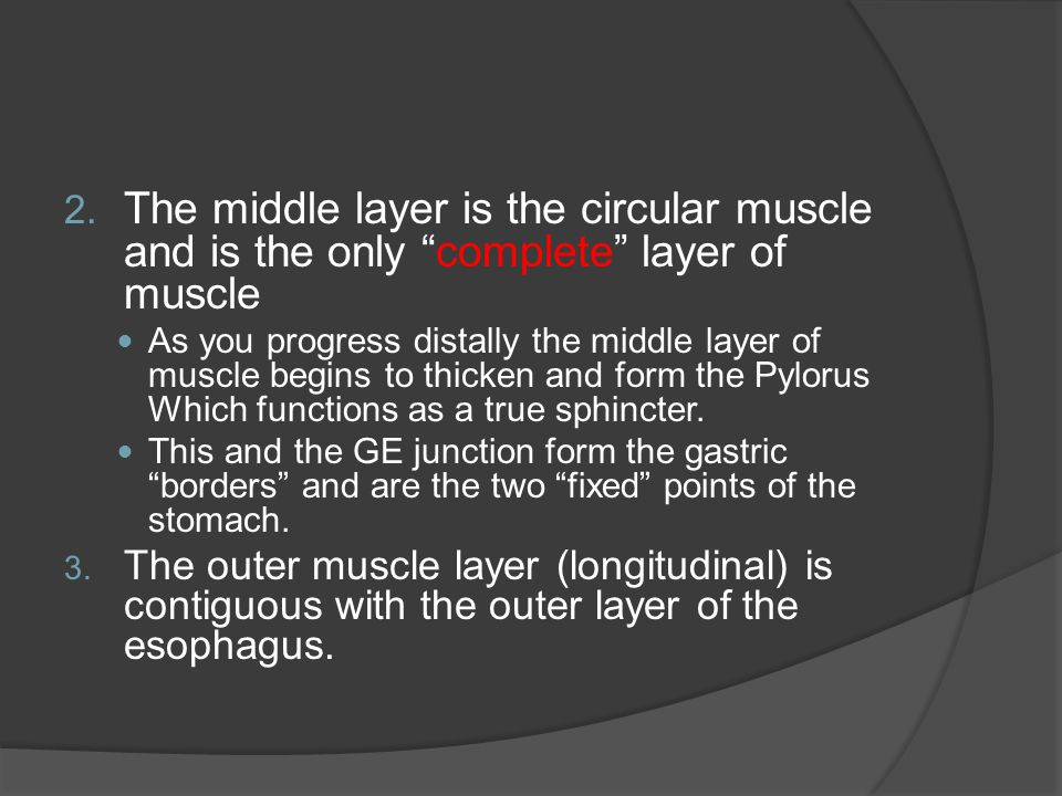 "2. The middle layer is the circular muscle and is the only ""complete"" layer of muscle As you progress distally the middle layer of muscle begins to th"