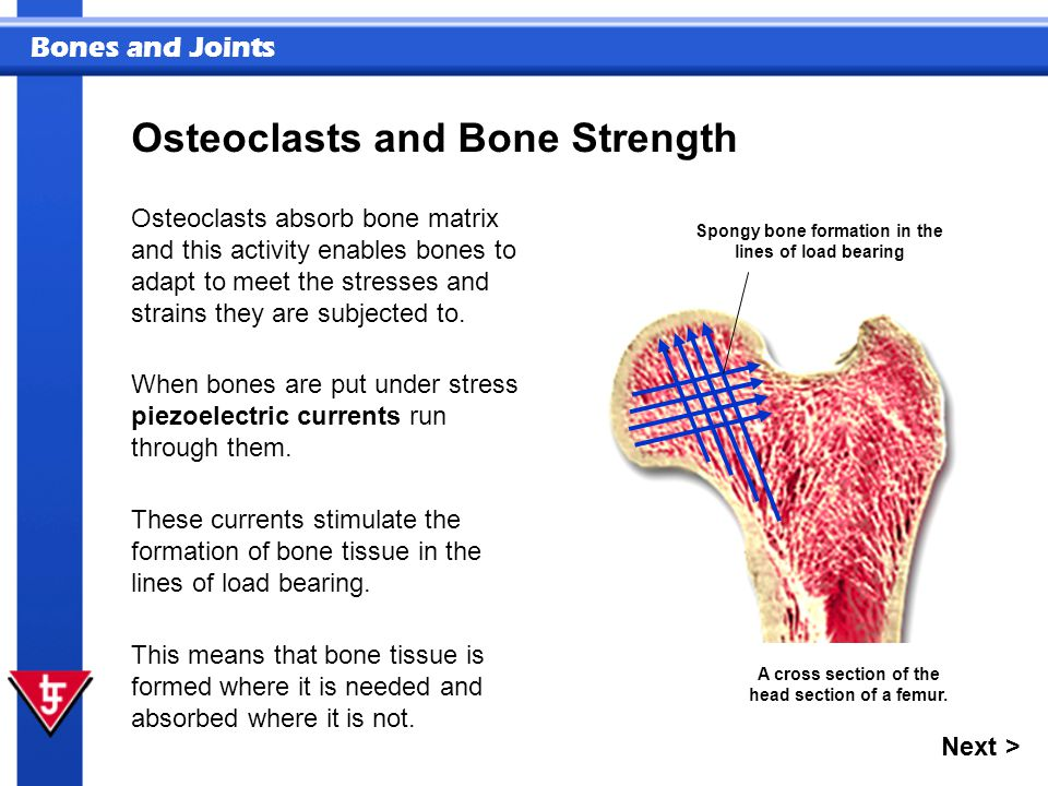 Bones and Joints Osteoclasts and Bone Strength Osteoclasts absorb bone matrix and this activity enables bones to adapt to meet the stresses and strains they are subjected to.