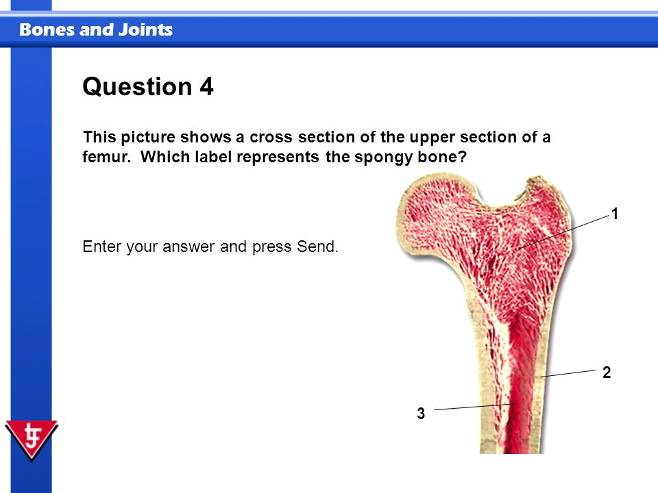 Bones and Joints 1 2 3 This picture shows a cross section of the upper section of a femur. Which label represents the spongy bone? Enter your answer a