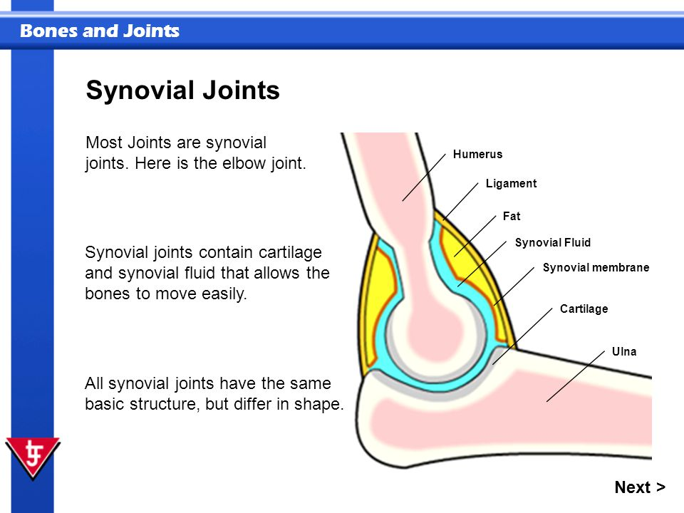 Bones and Joints Synovial Joints Humerus Ulna Synovial membrane Synovial Fluid Cartilage Fat Ligament Most Joints are synovial joints. Here is the elb