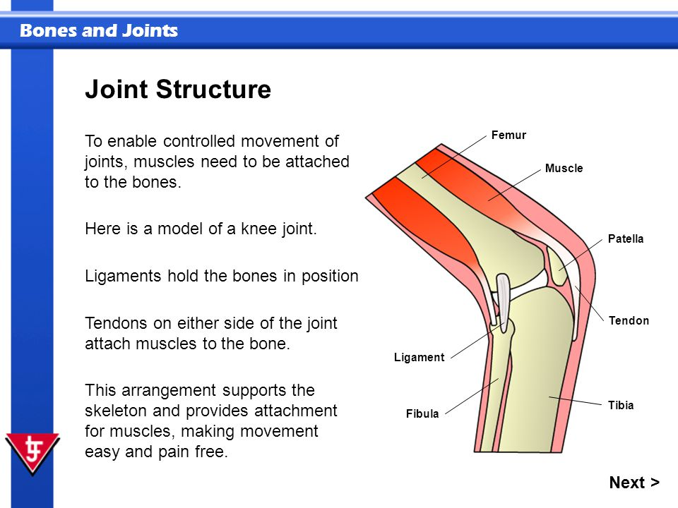 Bones and Joints Joint Structure To enable controlled movement of joints, muscles need to be attached to the bones. Next > This arrangement supports t