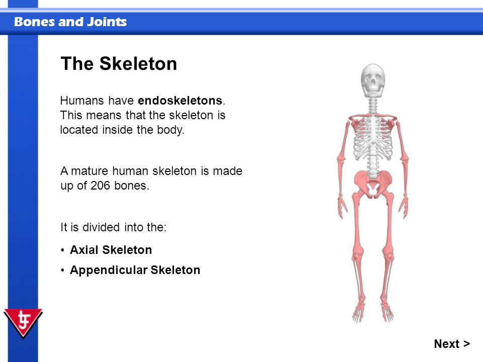 Bones and Joints Humans have endoskeletons. This means that the skeleton is located inside the body. A mature human skeleton is made up of 206 bones.