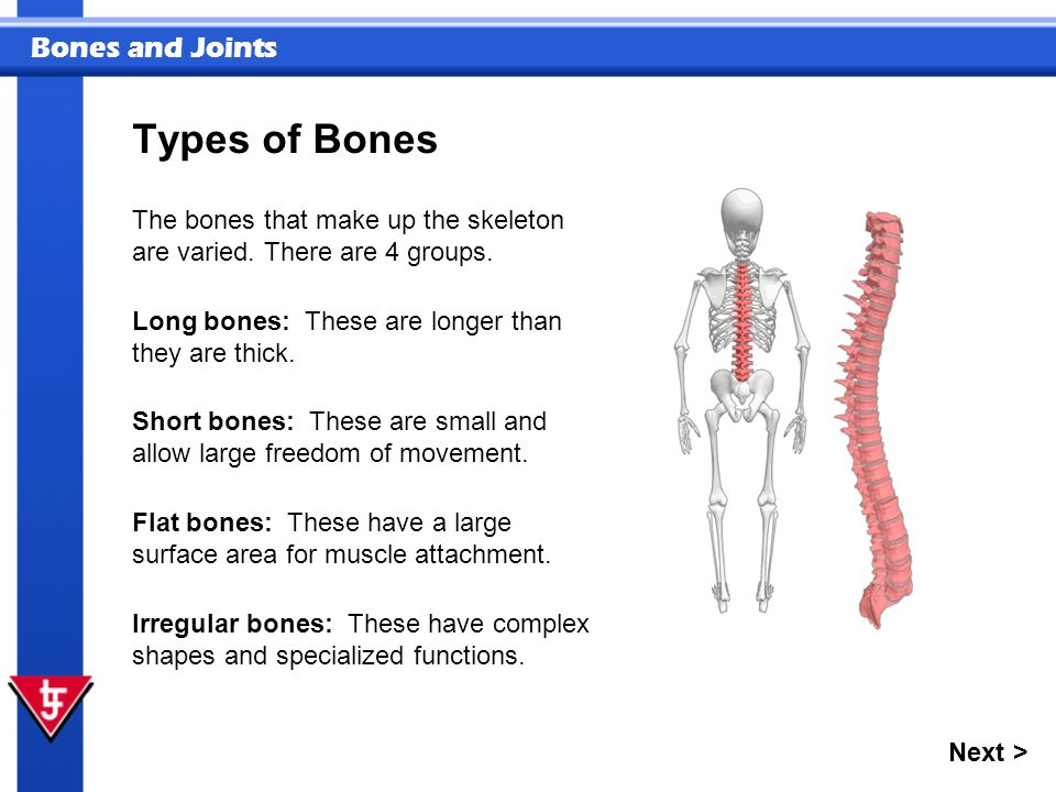 Bones and Joints The bones that make up the skeleton are varied.