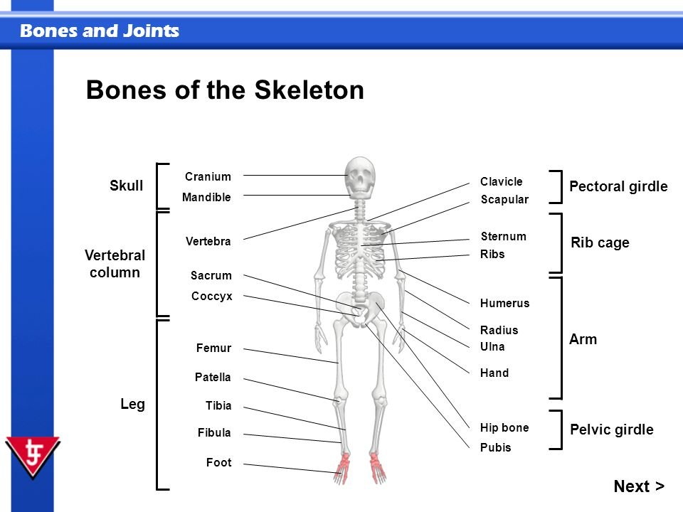Bones and Joints Bones of the Skeleton Next > Parts of the skeleton are divided into sections. Cranium Mandible Vertebra Coccyx Skull Vertebral column