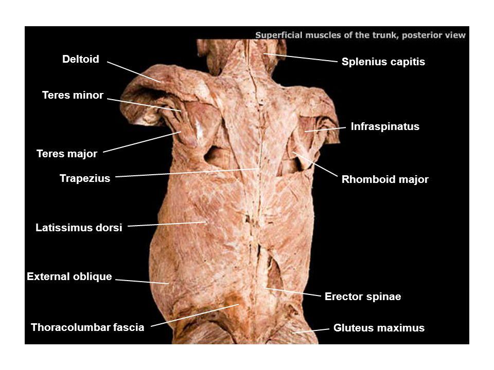 Splenius capitis Infraspinatus Rhomboid major Erector spinae Gluteus maximus Deltoid Teres minor Teres major Trapezius Latissimus dorsi External obliq