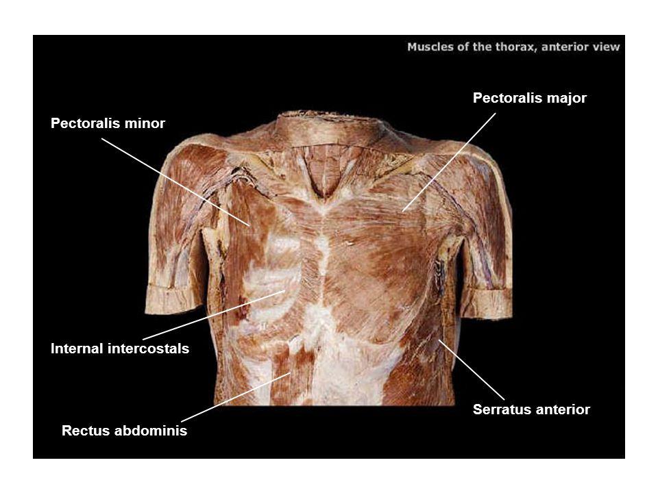 Pectoralis major Pectoralis minor Serratus anterior Internal intercostals Rectus abdominis