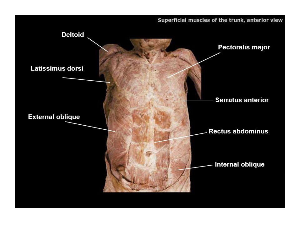 Pectoralis major Serratus anterior Rectus abdominus Internal oblique External oblique Latissimus dorsi Deltoid