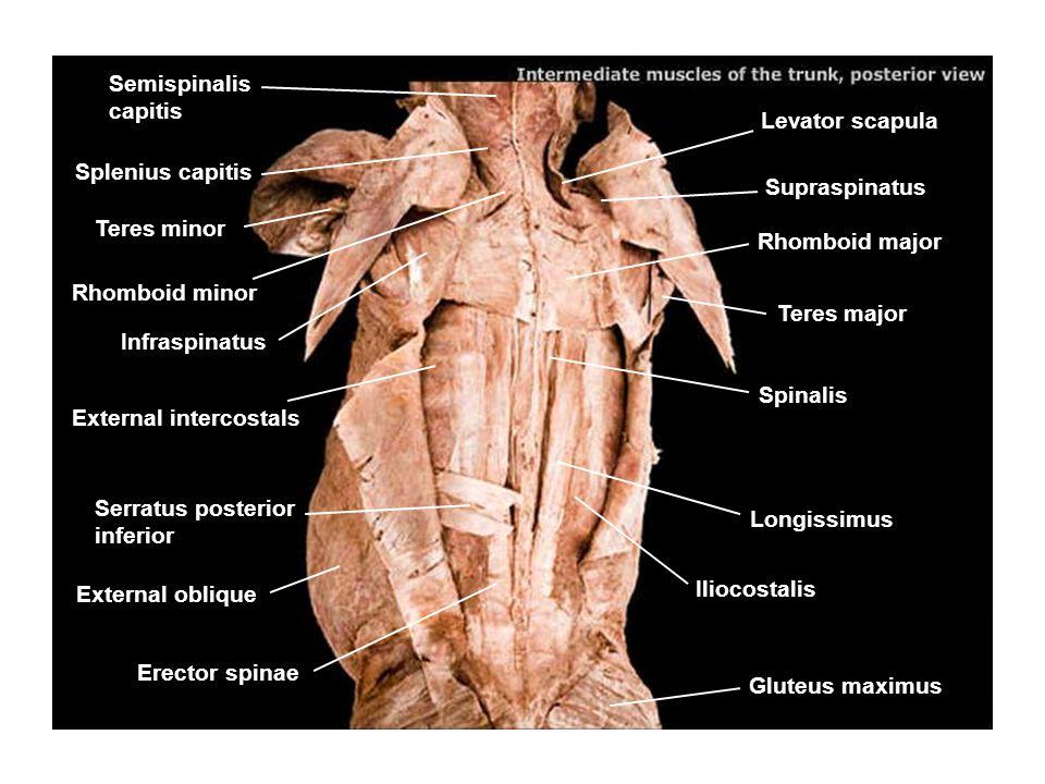 Semispinalis capitis Levator scapula Suspraspinatus Rhomboid minor Infraspinatus Rhomboid major Iliocostalis Gluteus maximus Splenius capitis Splenius cervicis Teres minor Teres major External intercostals Spinalis Longissimus External oblique