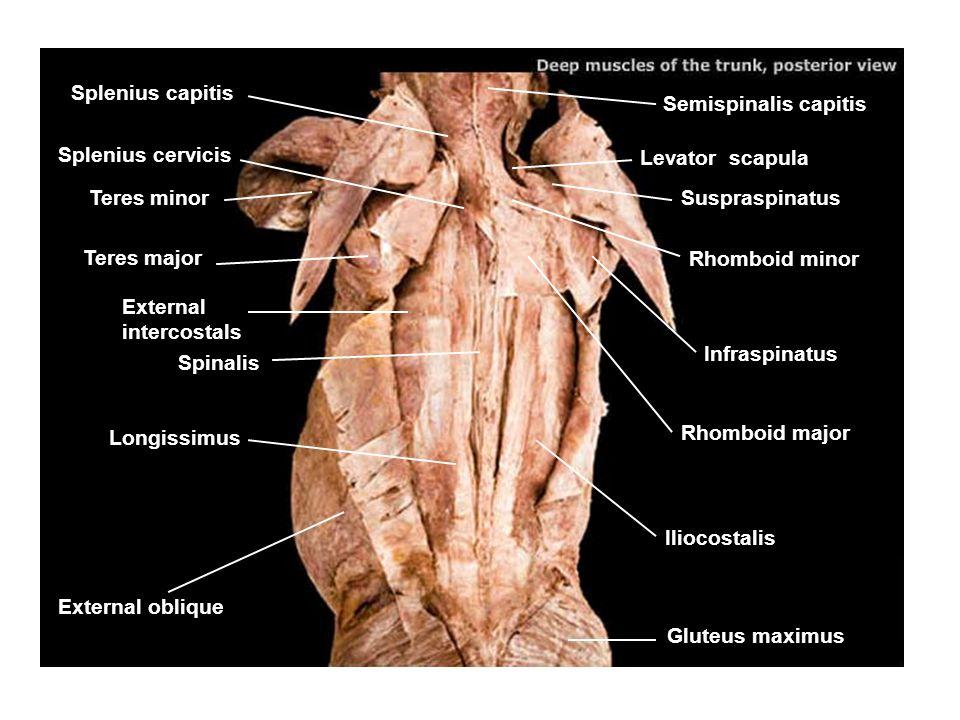 Ligamentum nuchae Semispinalis capitis Splenius capitis Serratus posterior superior Longissimus Iliocostalis Greater occipital nerve Levator scapulae Splenius cervicis Spinalis