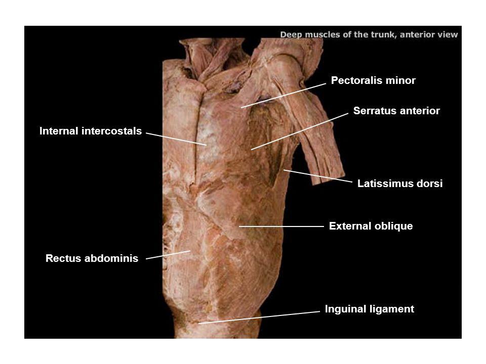 Pectoralis minor Serratus anterior Latissimus dorsi External oblique Internal intercostals Rectus abdominis Inguinal ligament