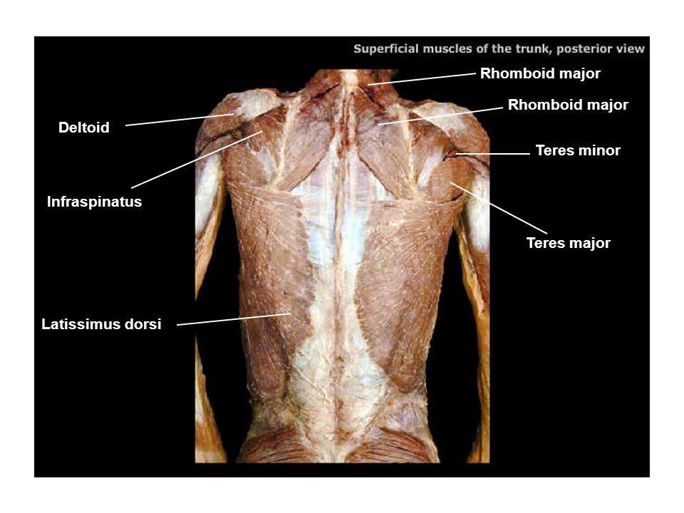 Trapezuis Infraspinatus Rhomboid major Latissimus dorsi Deltoid Teres major